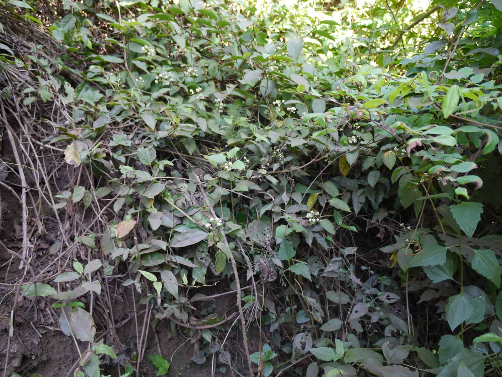 What do you think? Workers dig up Chinese knotweed that